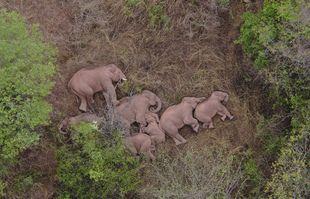 Un troupeau d'éléphants se repose dans la forêt de Yunnan près du canton de Xinyang dans le district de Jinning de Kunming City, en Chine, le 7 juin 2021.