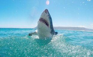 Un grand requin blanc photographié en Afrique du Sud. (Photo illustration)