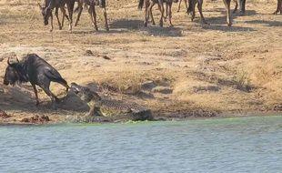 Un crocodile tente de manger un gnou avant que deux hippopotames ne viennent sauver le bovidé dans le parc Kruger en Afrique du Sud.