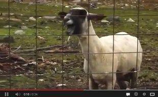 La goat version, littéralement la «version chèvre», déboule sur YouTube