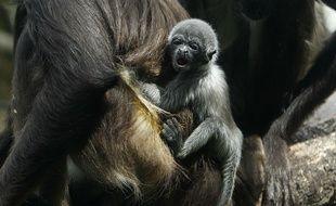Le bébé singe araignée, né le 9 septembre au zoo Santa Fe de Medellin (Colombie).
