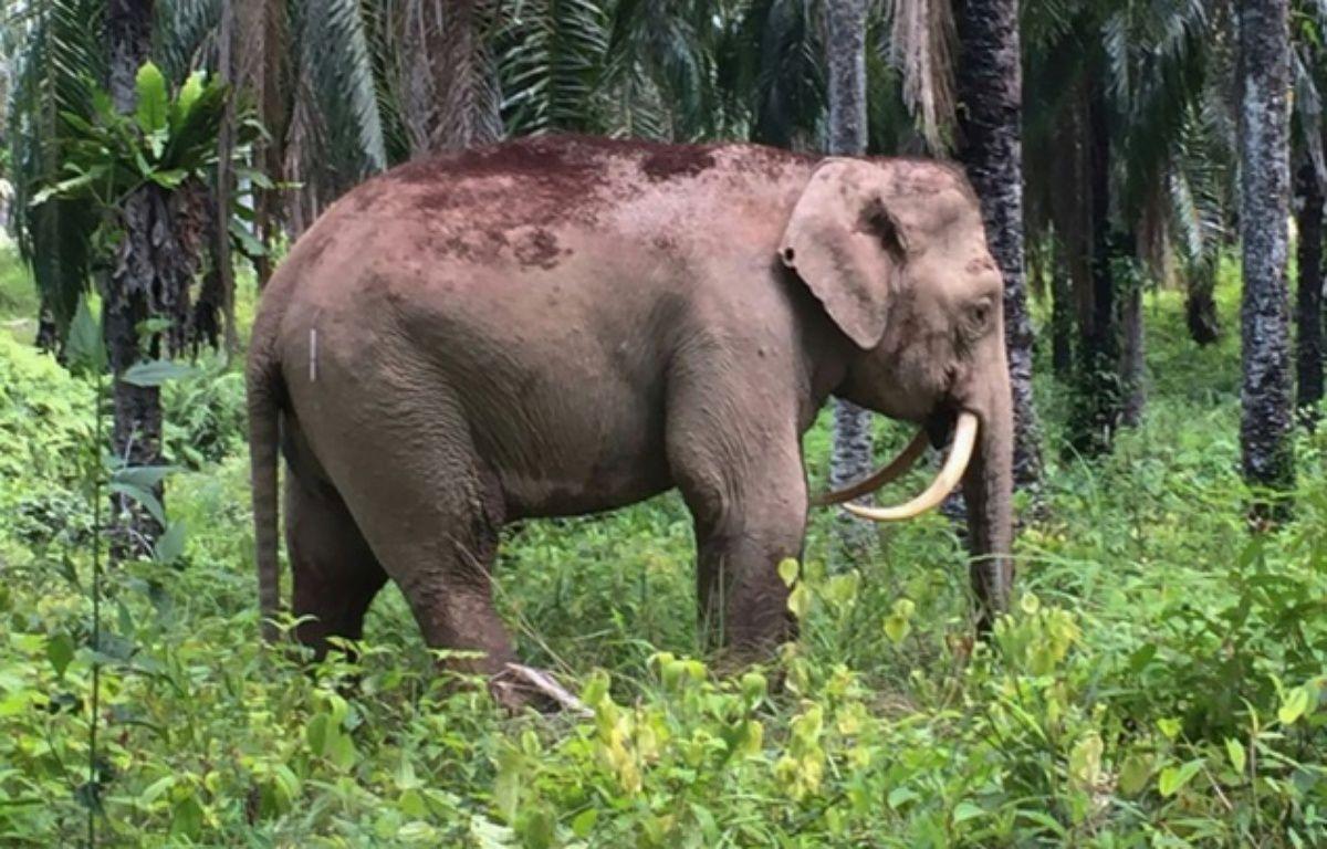 Un éléphant pygmée de Bornéo qui a la particularité d'avoir des défenses «en dents de sabre» a été découvert en Malaisie le 12 août 2016. – Sabah Wildlife Department/AFP