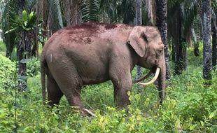 Un éléphant pygmée de Bornéo qui a la particularité d'avoir des défenses «en dents de sabre» a été découvert en Malaisie le 12 août 2016.