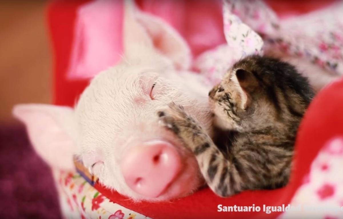 Recueillis par un refuge animalier, ce chaton et ce porcelet sont inséparables. – Santuario Igualdad Interespecie / YouTube