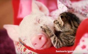 Recueillis par un refuge animalier, ce chaton et ce porcelet sont inséparables.
