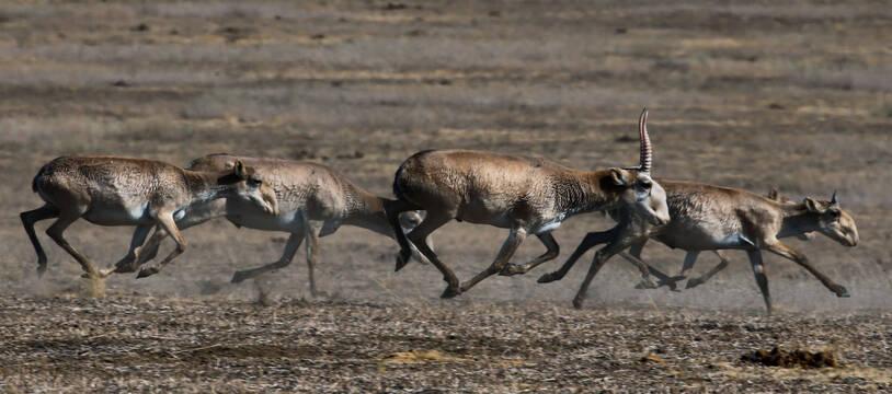 Des antilopes saïga (photo d'illustration).