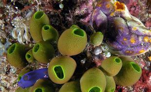 Les ascidies sont des organismes marins au système nerveux étonnamment proche du nôtre