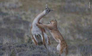 Le puma porte son attaque sur un lama dans la région patagonienne de Torres del Paine, au Chili.