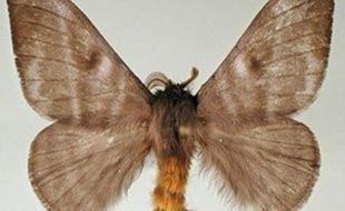 Un papillon à poils, nommé Hylesia Metabus.