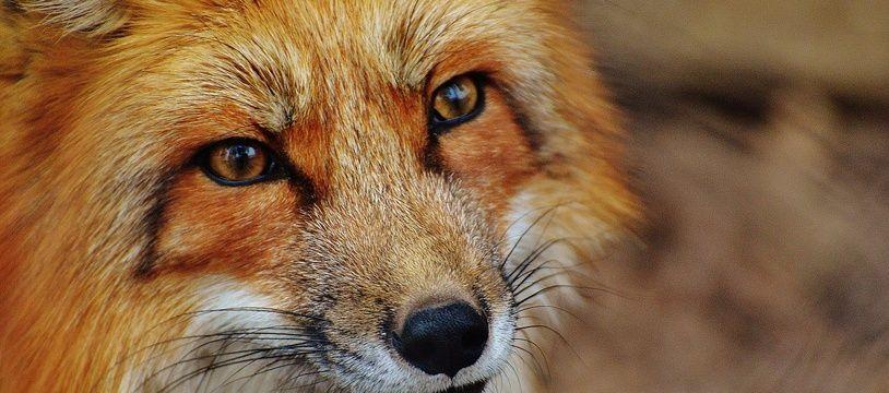 Illustration d'un renard.