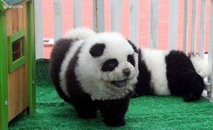 Un chien toiletté pour ressembler à un panda, en Chine.