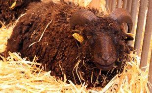 Un mouton d'Ouessant, au Salon de l'agriculture le 23 février 2015.