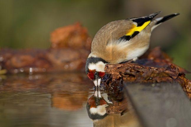 En France, le chardonneret a enregistré une baisse de 40 % de ses effectifs depuis dix ans selon l'Union internationale pour la conservation de la nature (UICN).