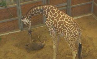 Katie la girafe et son petit