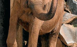 Les éléphantes sont souçonnées d'avoir la tuberculose.