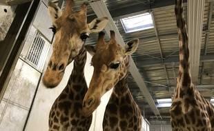 Aurore, Adège et Gomy, trois des 12 femelles girafes que compte le zoo de Vincennes