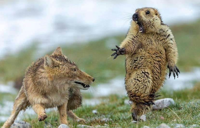Une marmotte terrifiée devant un renard remporte le prix de la photo animalière de l'année
