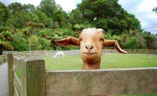 Une chèvre (illustration).