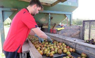La production de pommes à cidre sera en fort recul cette année en Bretagne.