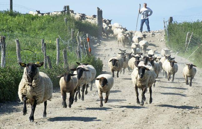 Yannick Frain (au fond) est à la tête d'un troupeau d'un millier de bêtes.