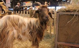 Une chèvre des Pyrénées, au Salon de l'agriculture le 23 février 2015.