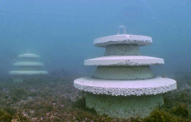Au large de Brest et Quiberon, des structures ont été posées au fond de la mer pour aider les colonies d'huîtres plates sauvages, menacées de disparition.