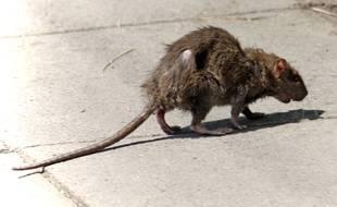 Un rat, photo dillustration.