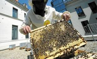 Les abeilles, venues de l'île d'Ouessant, vont butiner sur trois kilomètres.