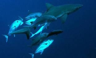 Image fournie à l'AFP le 20 juin 2009 d'un requin bleu au large de l'île du Pacifique de Palau