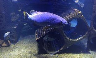 Un Mérou se prélasse devant un récif artificiel qui représente pour lui une bonne cachette
