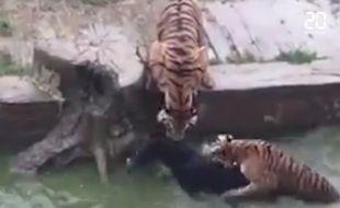 Mécontents, les investisseurs du zoo ont jeté un âne dans la fosse aux tigres.