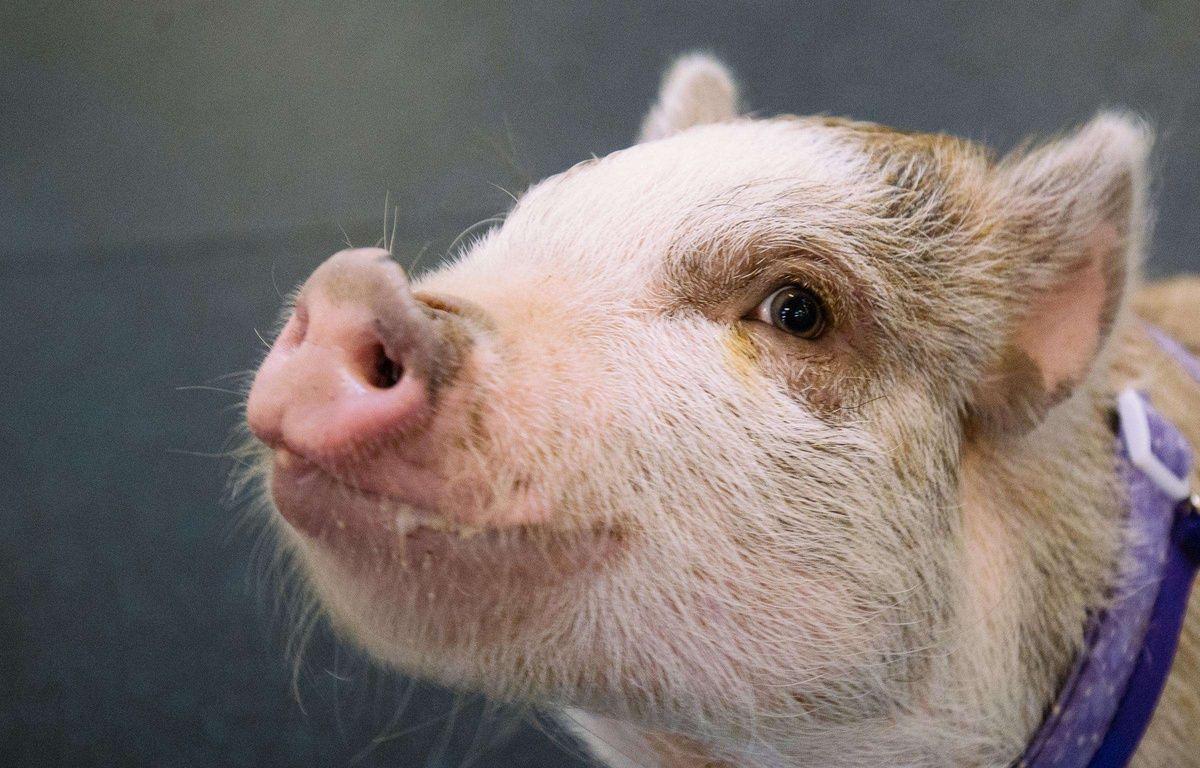 Illustration d'un cochon.  –  Joshua Lewis/AP/SIPA