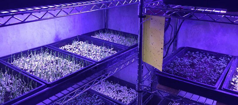 Des plants de minipousses produits dans l'une des cellules.