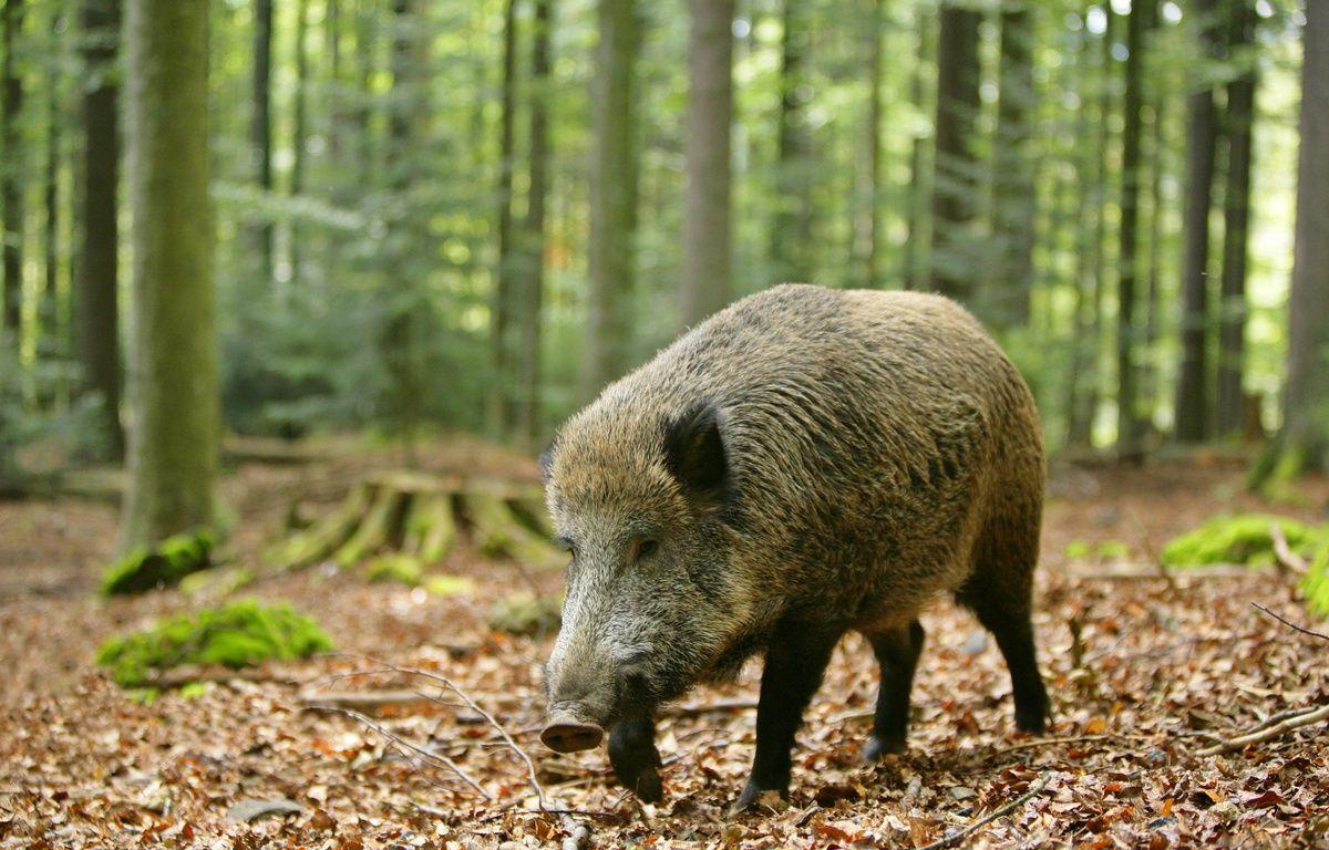 Les sangliers sont très nombreux dans ce coin de la Moselle. –  ARDEA/MARY EVANS/SIPA