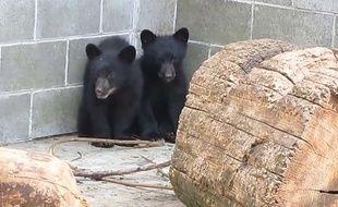 Capture d'écran de deux oursons, sauvés de l'euthanasie par un garde-chasse canadien, le 5 juillet 2015.