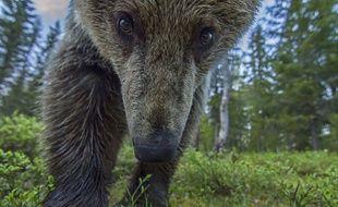 Un ours brun d'Europe en Finlande, le 5 juin 2015.