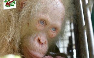 Alba, une orang-outan albinos aux yeux bleus enfermée dans une cage par des villageois et secourue par les défenseurs des animaux.