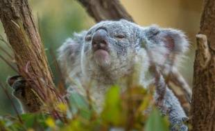 Un koala du Quennsland au Zoo de Schooenbrunn à Vienne, le 27 août 2014