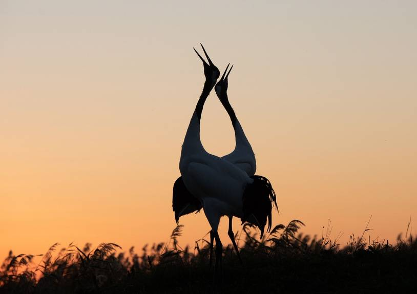 Qiqihar, CHINA-Red-crowned cranes at Zhalong Nature Reserve in Qiqihar, northeast China's Heilongjiang Province.