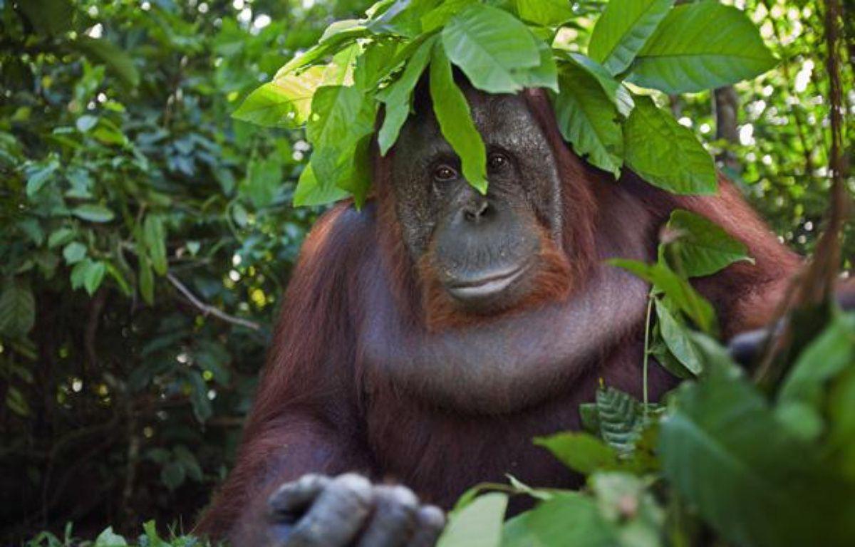 Un orang-outan à Bornéo. – FIONA ROGERS/ANUP SH/SOLENT NEWS/SIPA