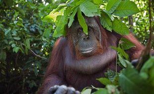 Un orang-outan à Bornéo.