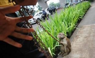 """""""Qu'est-ce qu'ils veulent qu'on fasse? Qu'on mendie?"""": pour subsister, Ilin Satrio fait danser un macaque au bout d'une chaîne. Mais la pratique, décriée pour sa barbarie, est désormais interdite à Jakarta, privant de ressources des centaines de pauvres."""