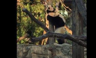 Capture d'écran de la vidéo postée par le Smithsonian's National Zoo de Washington D.C. publié le 8 février 2016 et montrant le panda Bei Bei grimpant à un arbre pour la première fois.