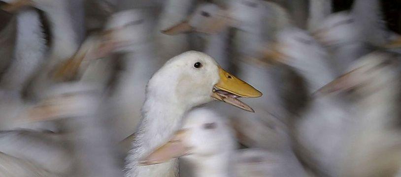 Illustration d'un élevage de canards