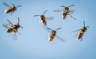 Illustration: Des guêpes volent autour de leur nid.