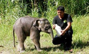 Un jeune éléphant pygmée photographié en 2013 à Bornéo.