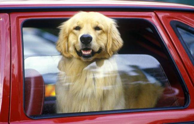 Un chien dans une voiture.