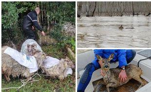 Depuis le début de l'épisode de crue en Gironde, les gendarmes ont sorti de l'eau des moutons et un chevreuil.