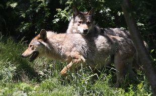 Deux loups gris communs (illustration).