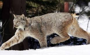 Un lynx du Canada. Illustration.